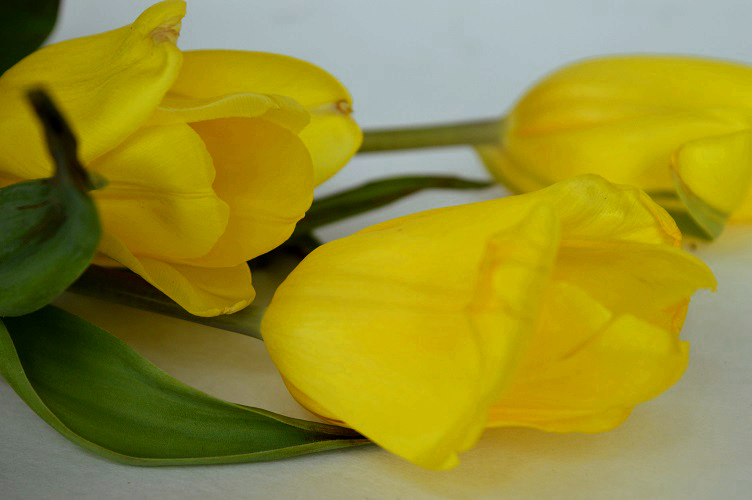 Creativity and Grief - Wilting Tulips Closeup