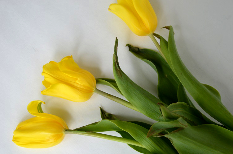 Creativity and Grief - Wilting Tulips
