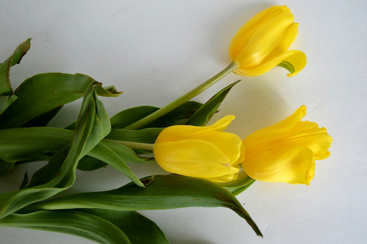 Creativity and Grief - More Wilting Tulips